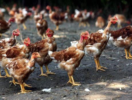 حدود ۵۰۰۰ مرغ تخمی به خانواده های بی بضاعت فراه توزیع شد