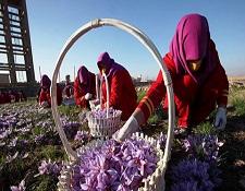 صادرات زعفران با نام و نشان افغانستان / زعفران هرات جواز سازمان ISO را کسب کرد