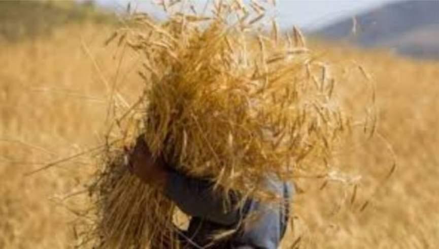 خشکسالی در افغانستان؛  تولید گندم یک میلیون تن کاهش می یابد