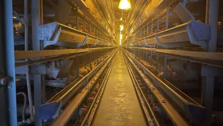 یک مرغداری در کابل روزانه 250 هزار تخم تولید می کند